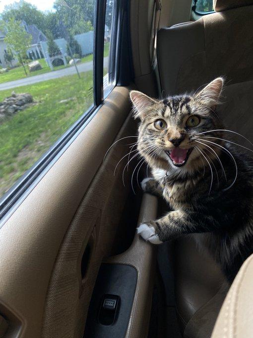 gato aterrorizado viajando en coche