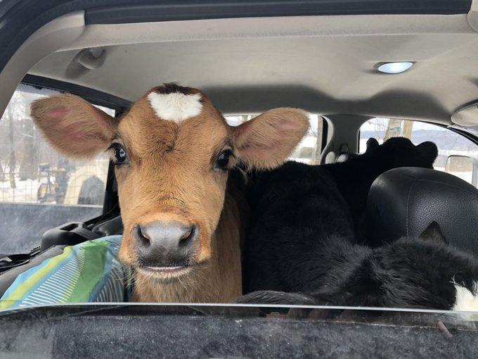 vacas viajando en coche