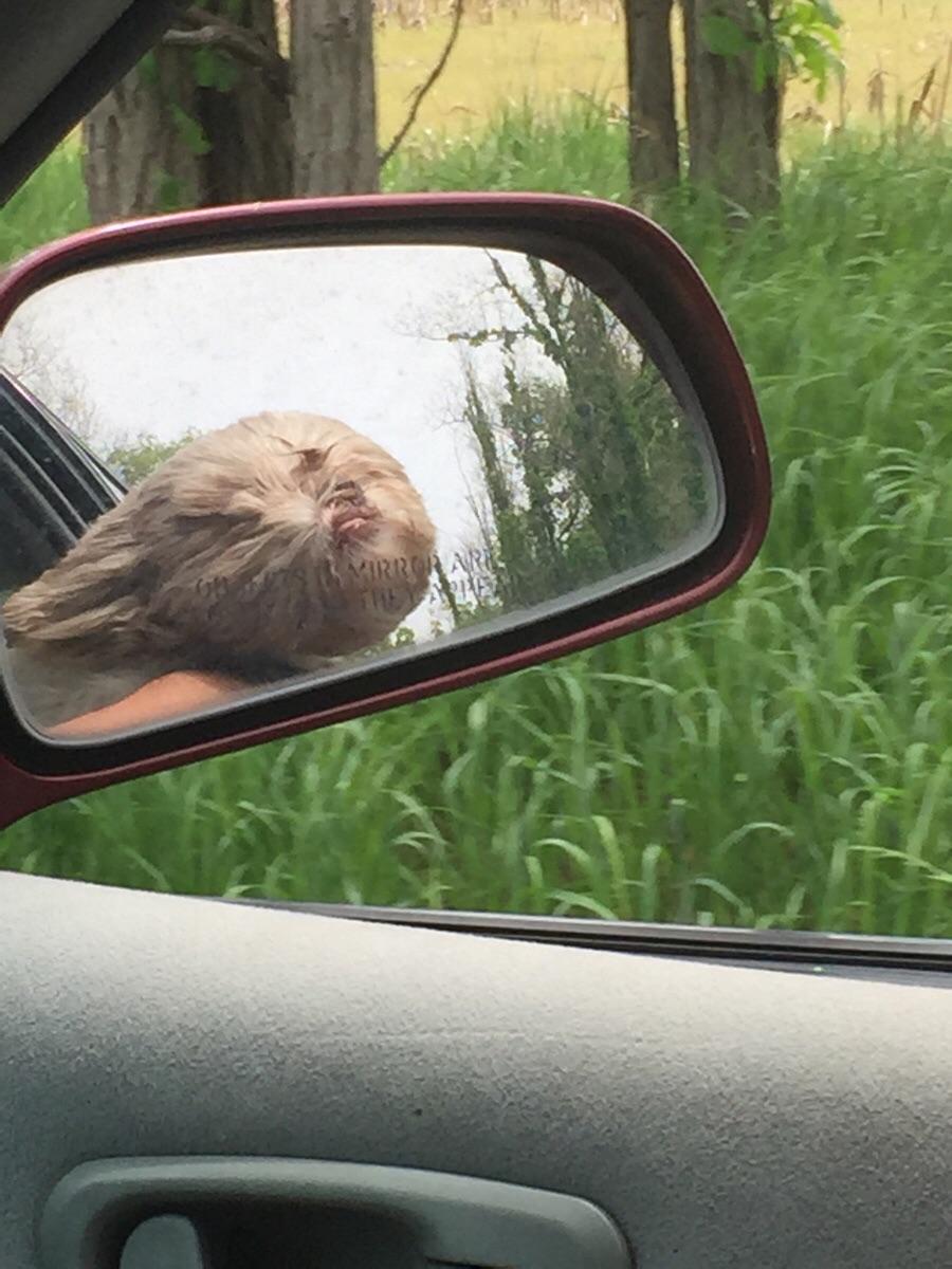 perro peludo por la ventanilla del coche