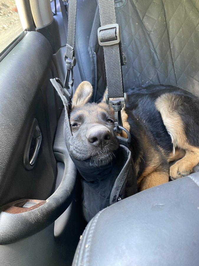 perro odia el coche