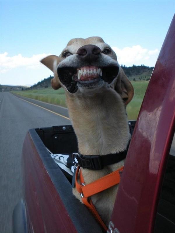 perro sonriendo por la ventanilla del coche