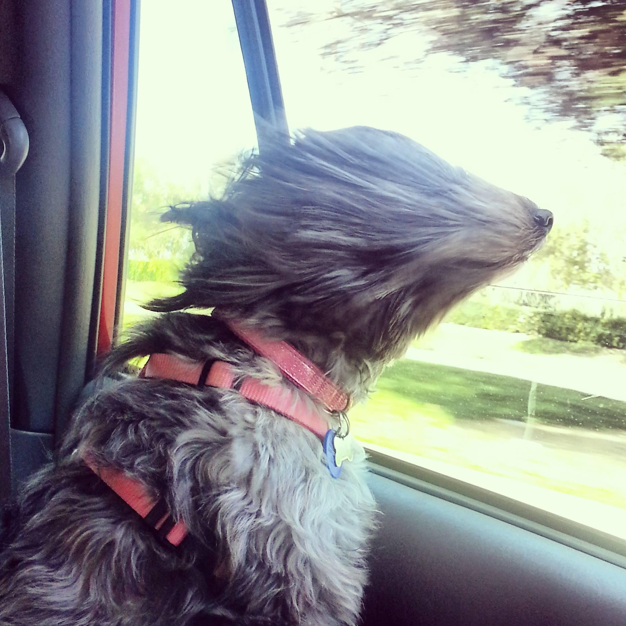 perro con cara de velocidad