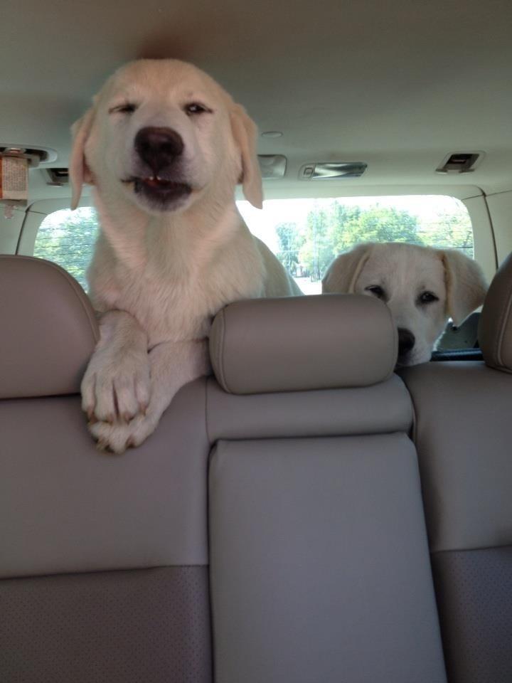 labradores en el coche