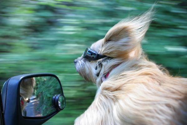 perro disfrutando del paseo en coche