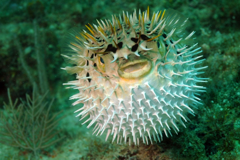 pez globo inflado