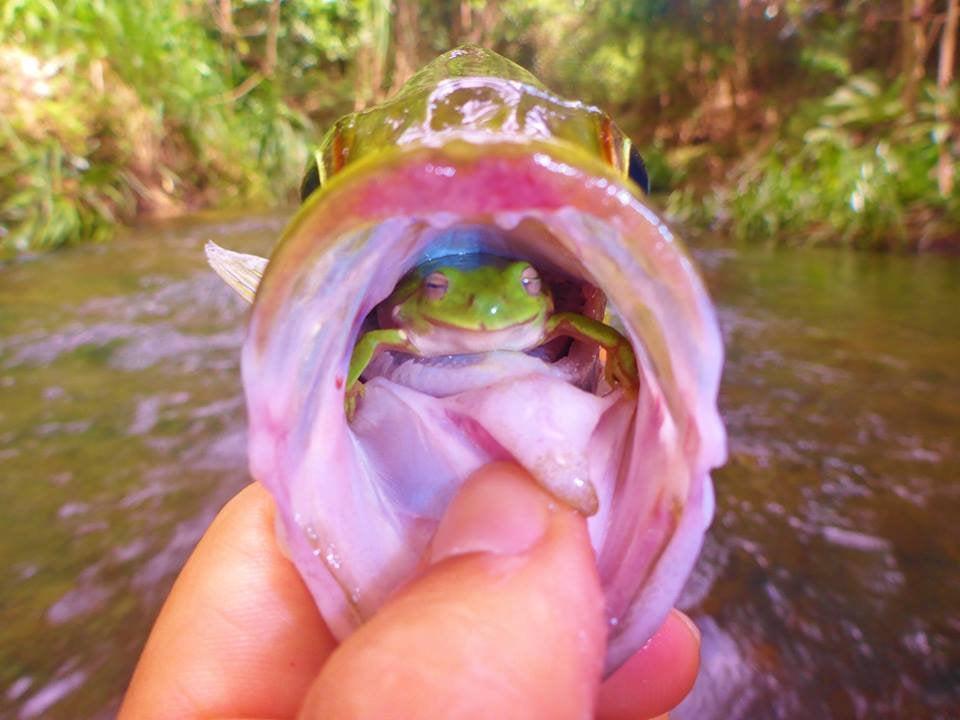 rana dentro de pez