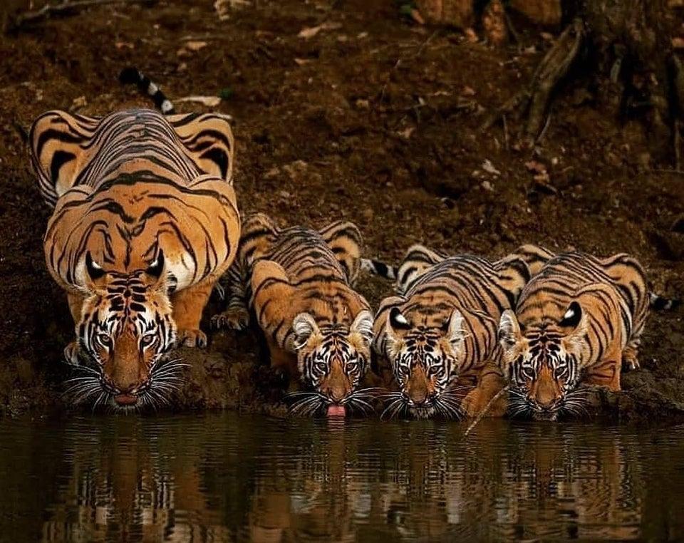 tigres bebiendo en río