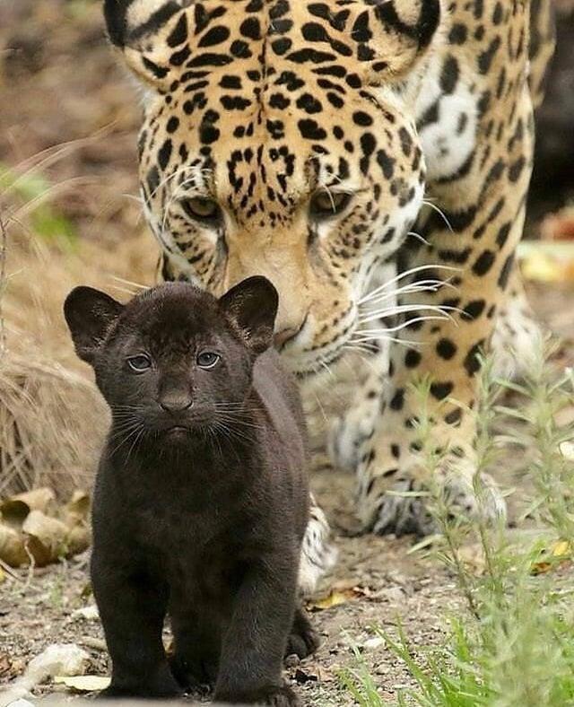 bebé jaguar negro