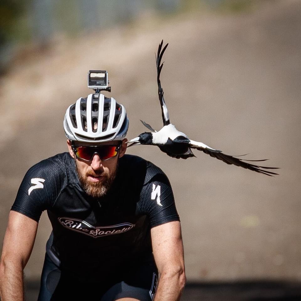 pájaro muerde ciclista