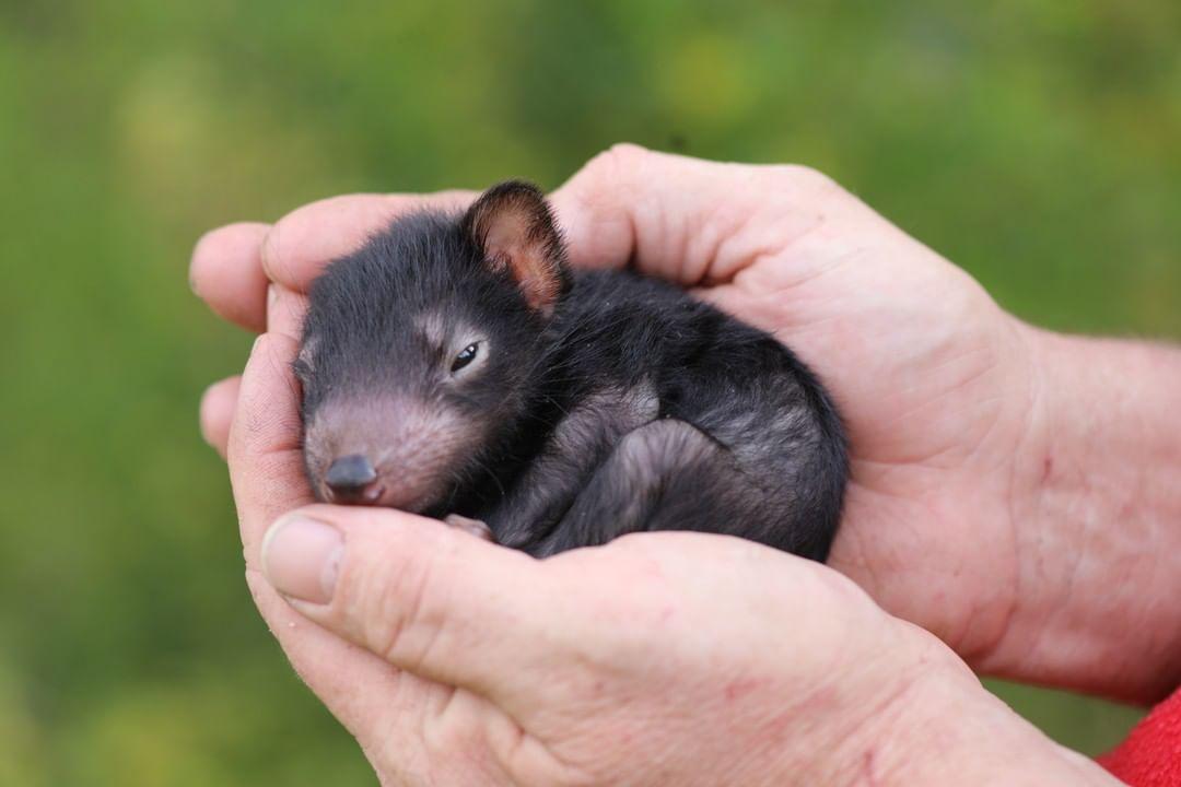 cria demonio tasmania