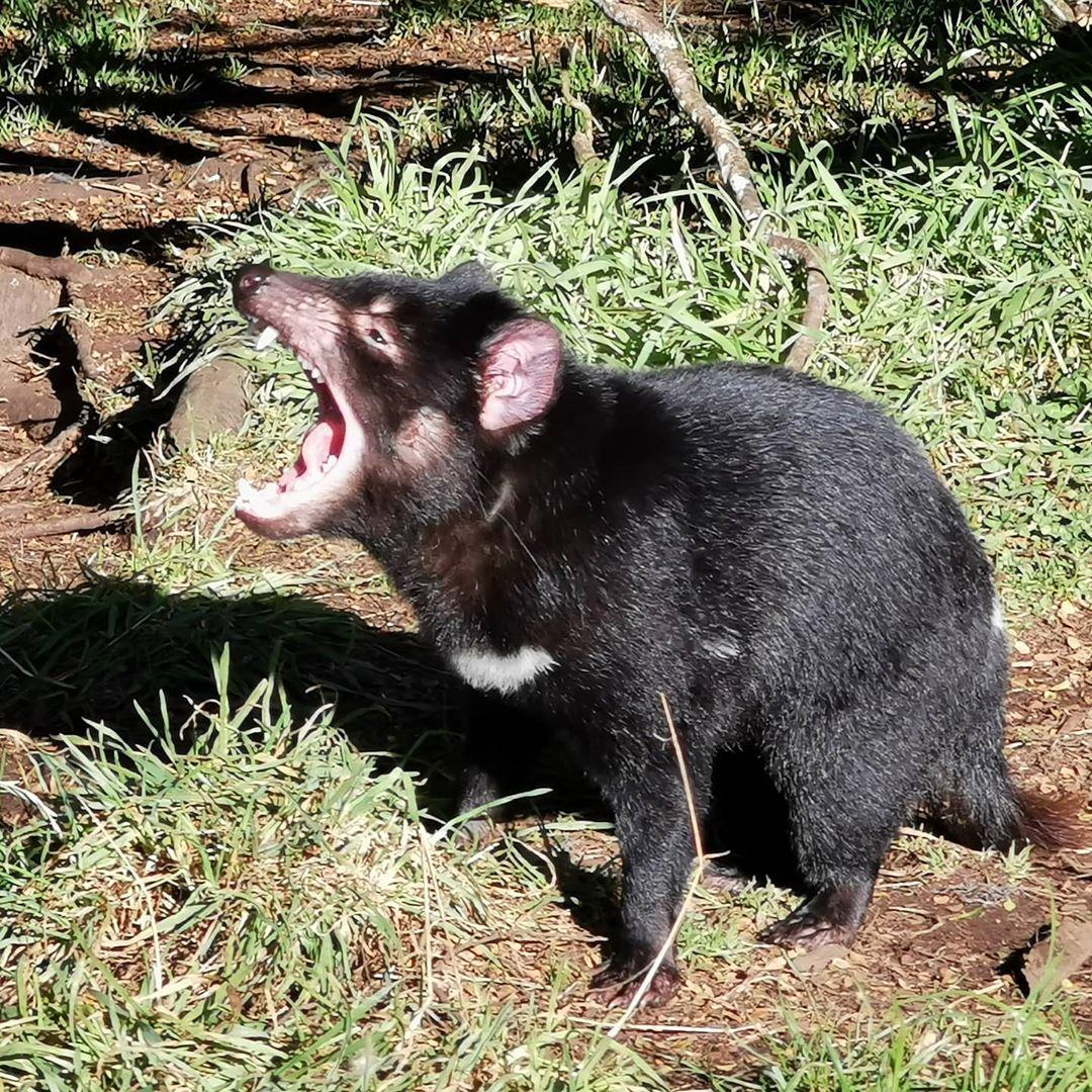 demonio tasmania chillando