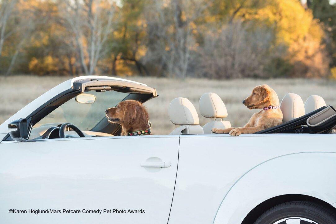 perros conduciendo descapotable