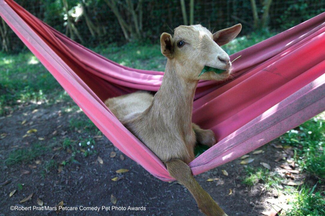 cabra en hamaca