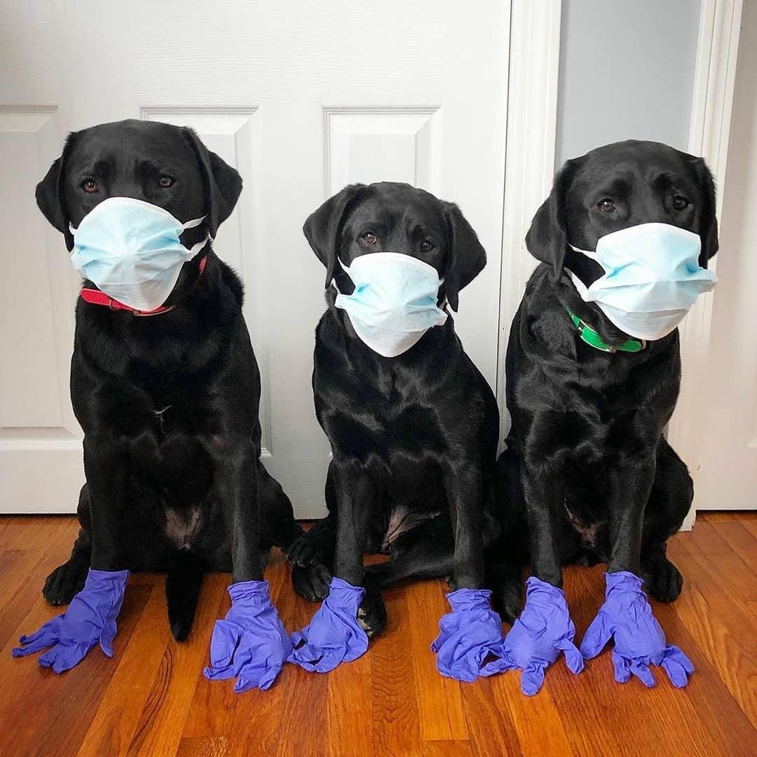 labradores con mascarilla y guantes