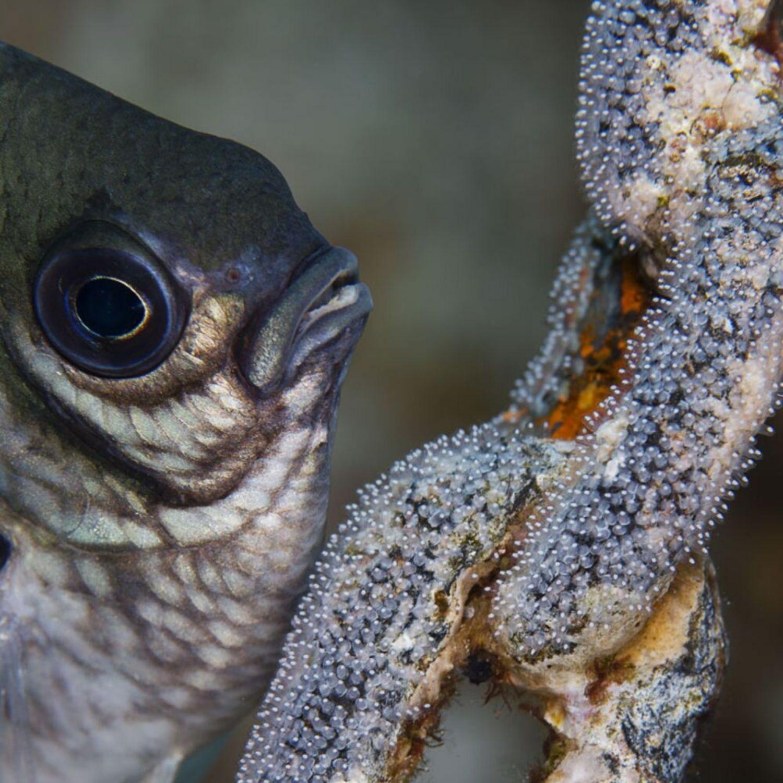 pez cadena
