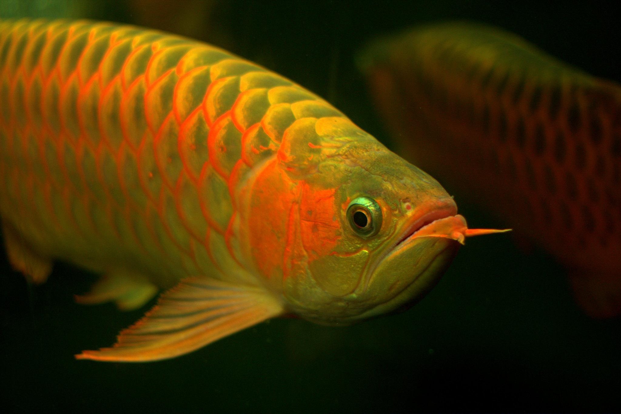 pez dragon