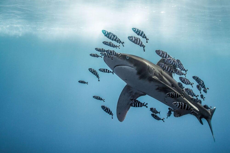 tiburon peces