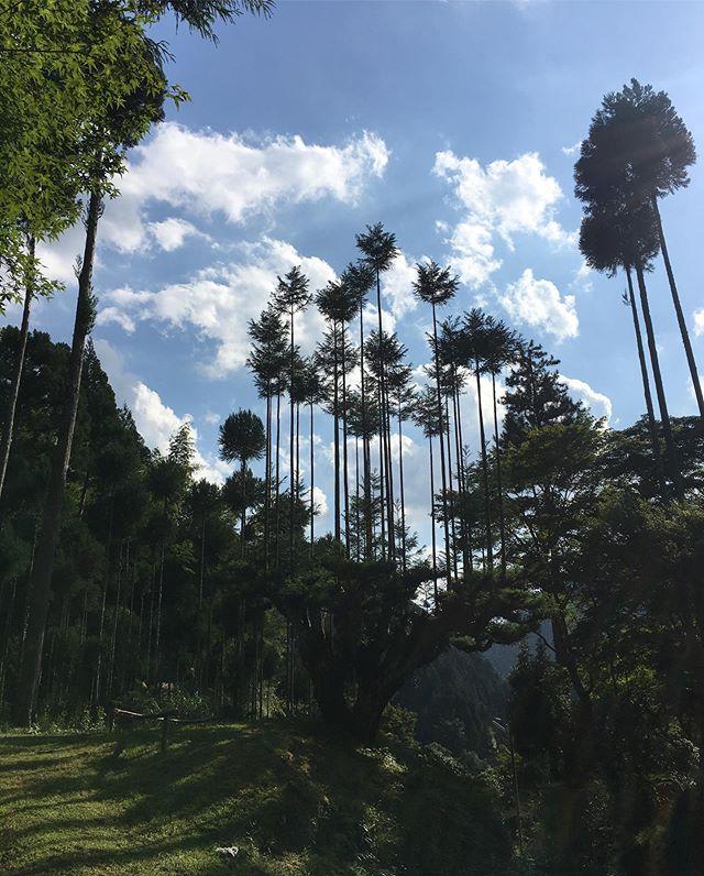 bosque de cedros