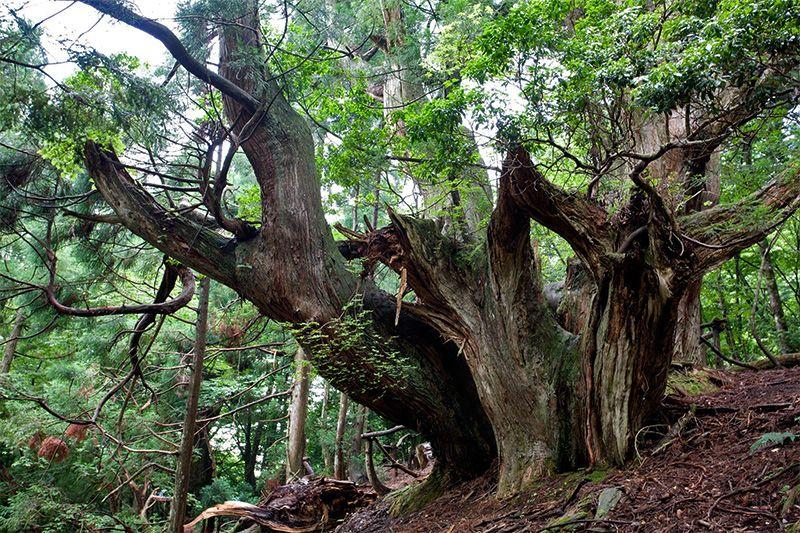 cedro daisugi abandonado