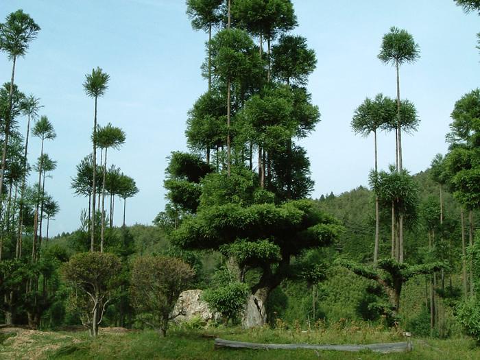 daisugi jardin ornamental