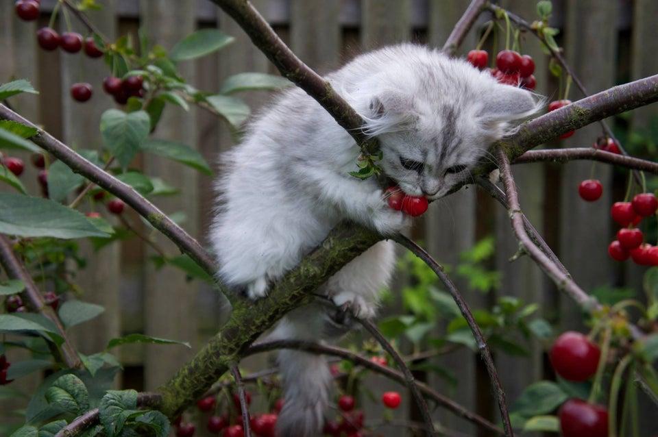 gato comiendo cerezas