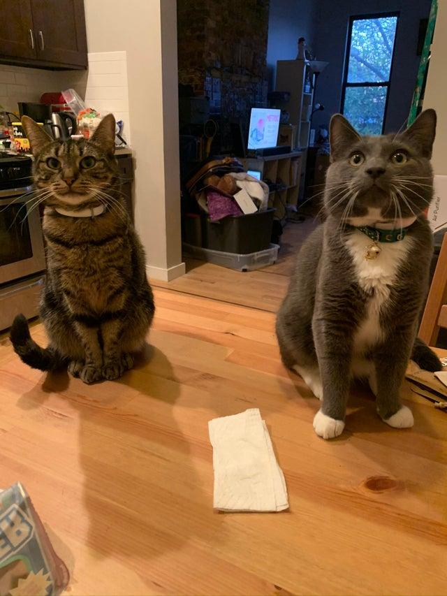 gatos enormes