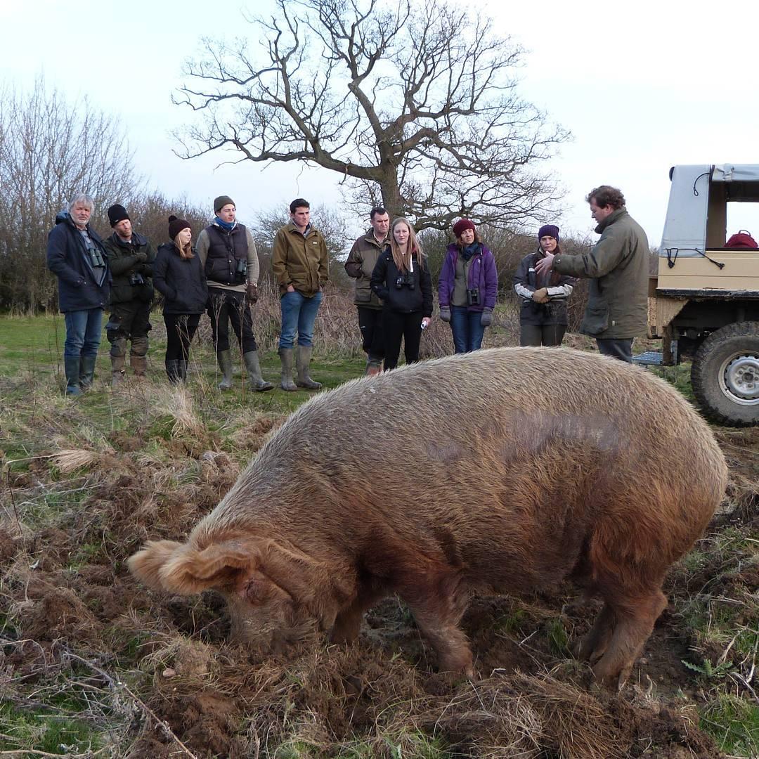 cerdo en el barro