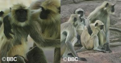 langures-bbc