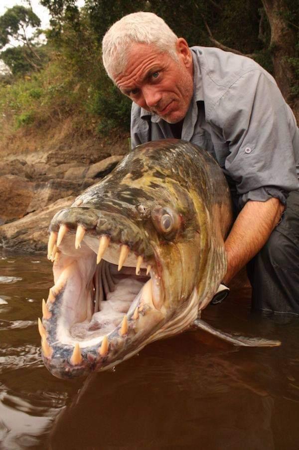 pez tigre congo