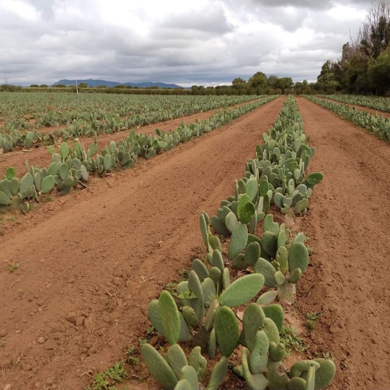 plantacion cactus