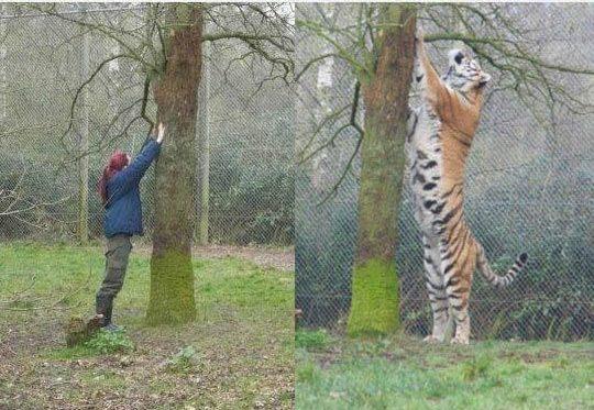 tigre con humano