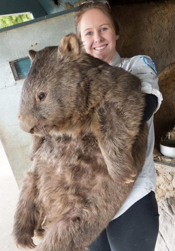 wombat más grande del mundo