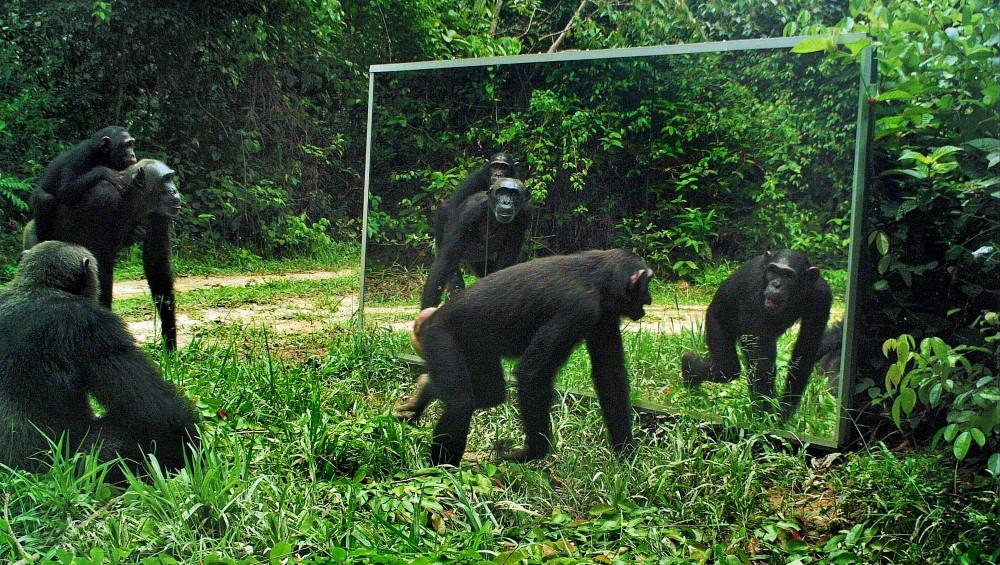 chimpances espejo