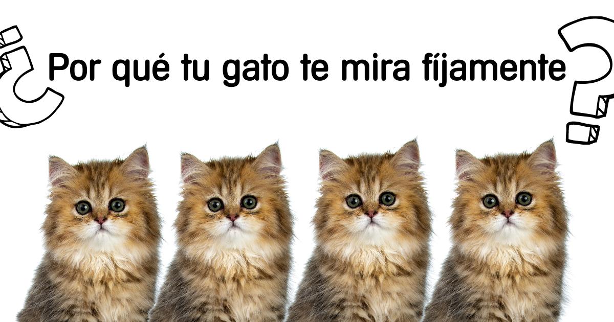gato-mira-fijamente