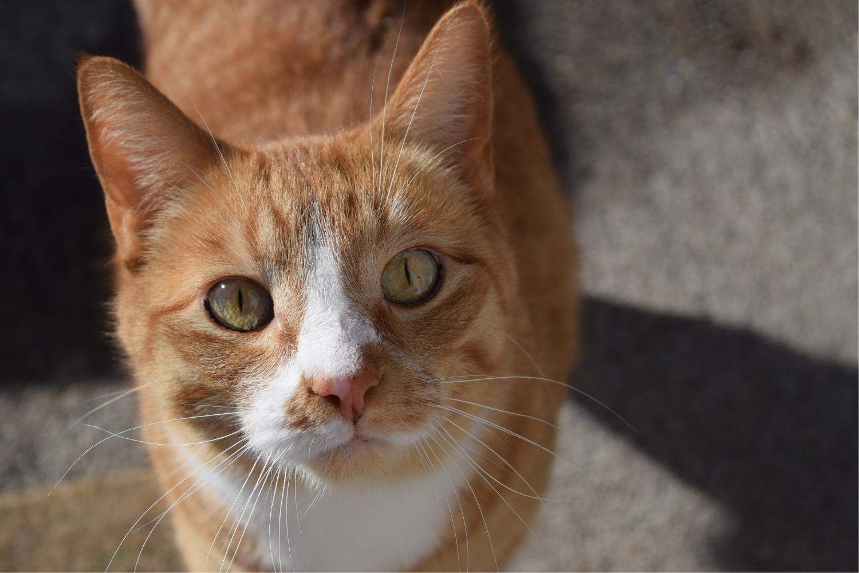 gato naranja y blanco