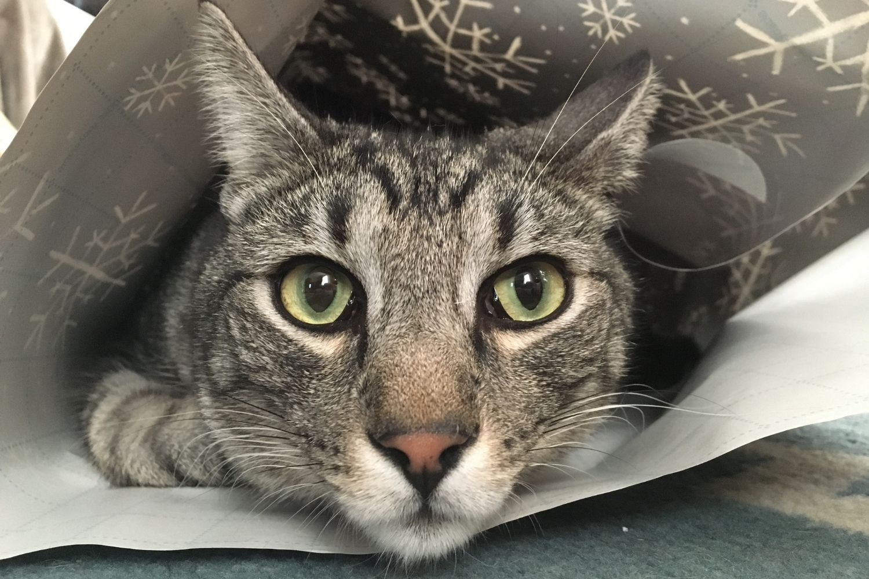 gato mirada fija