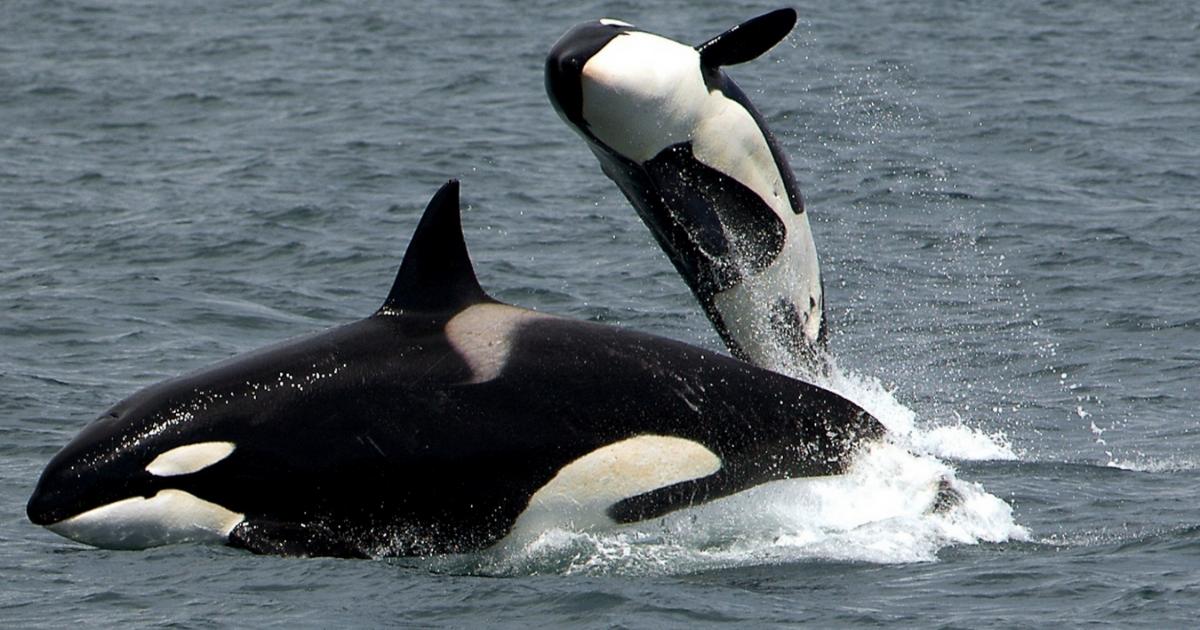 orcas-abuela