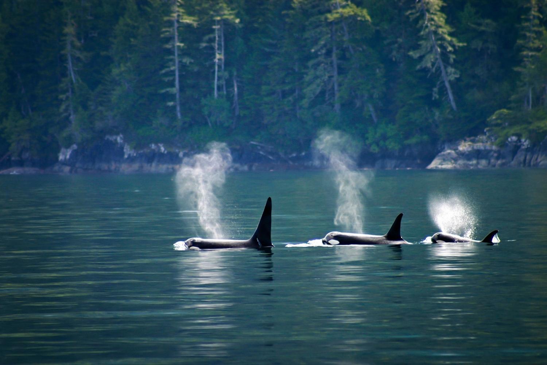 familia de orcas