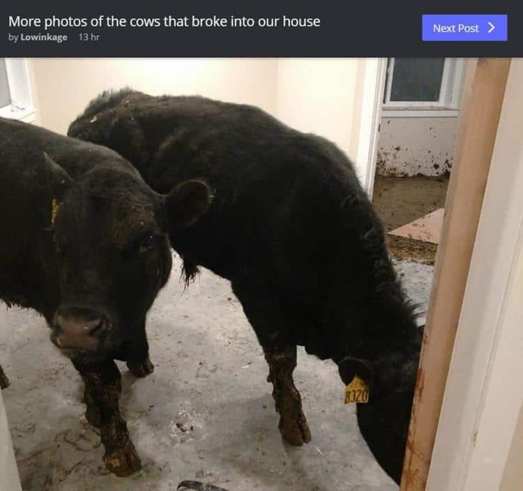 vacas en casa abandonada