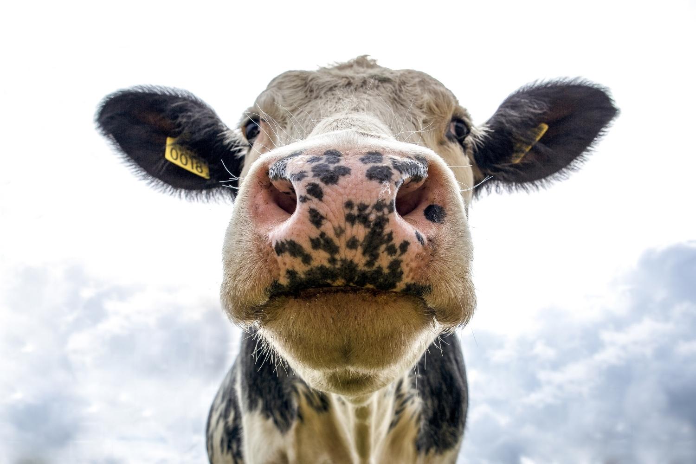 vaca de cerca