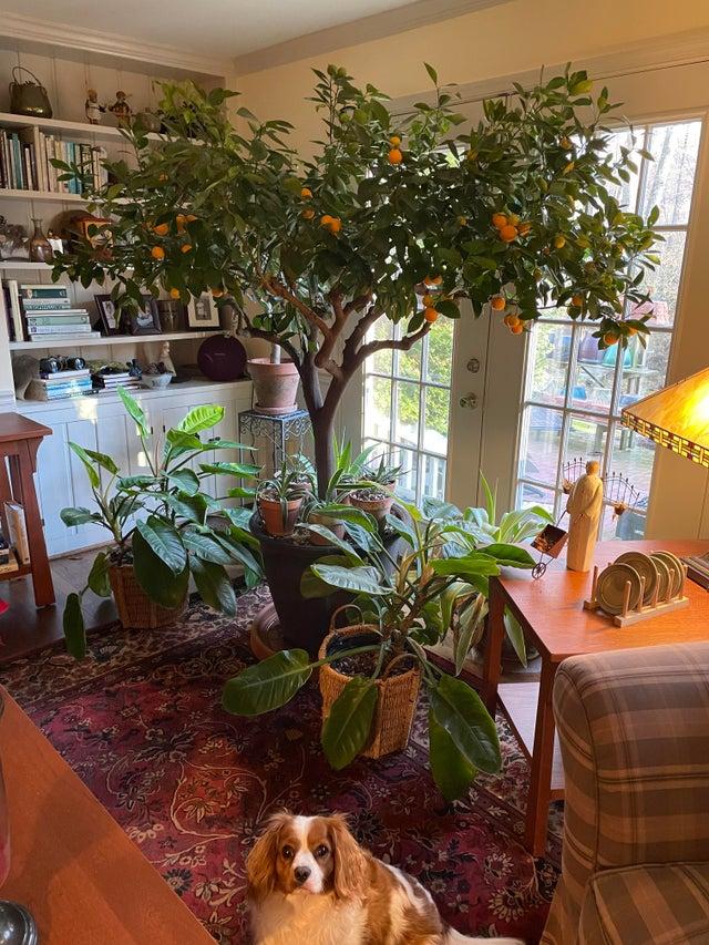 un naranjo dentro de casa