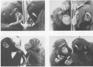 chimpances en el espejo