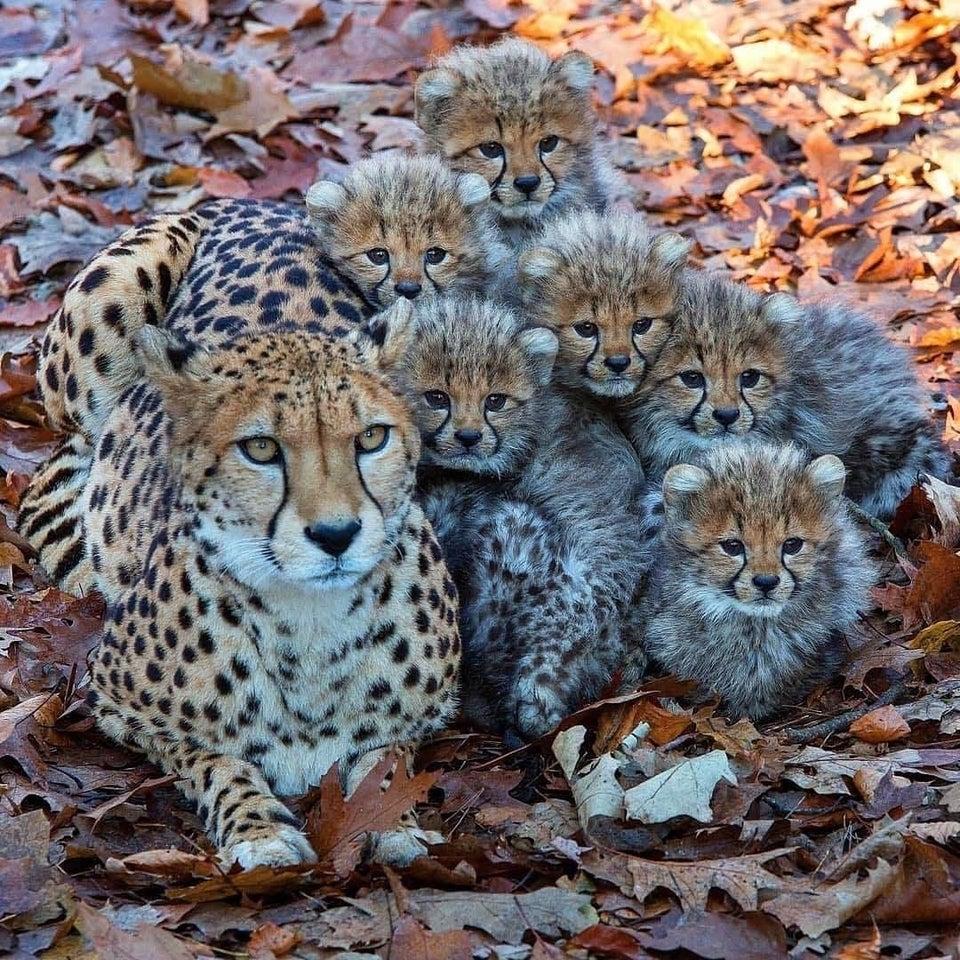madre leopardo con sus cachorros