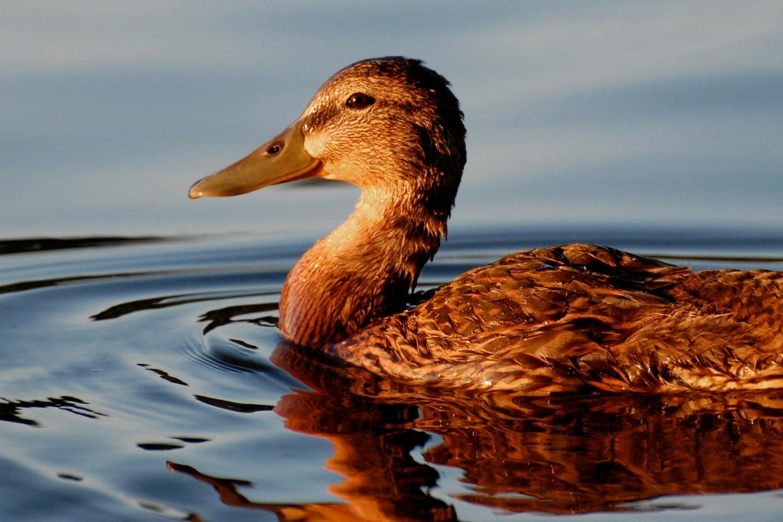pato pardo nadando