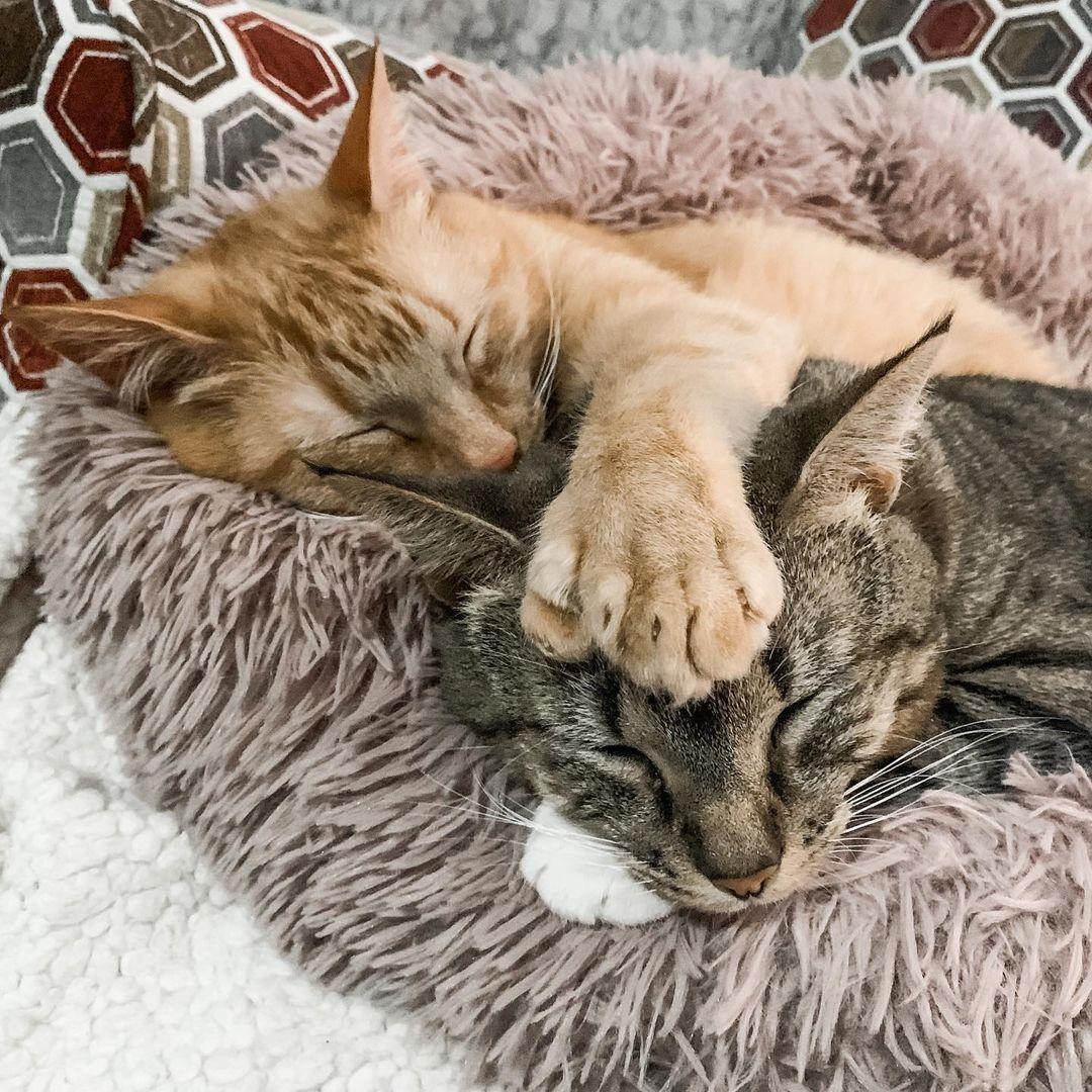 gato con polidactilia 10