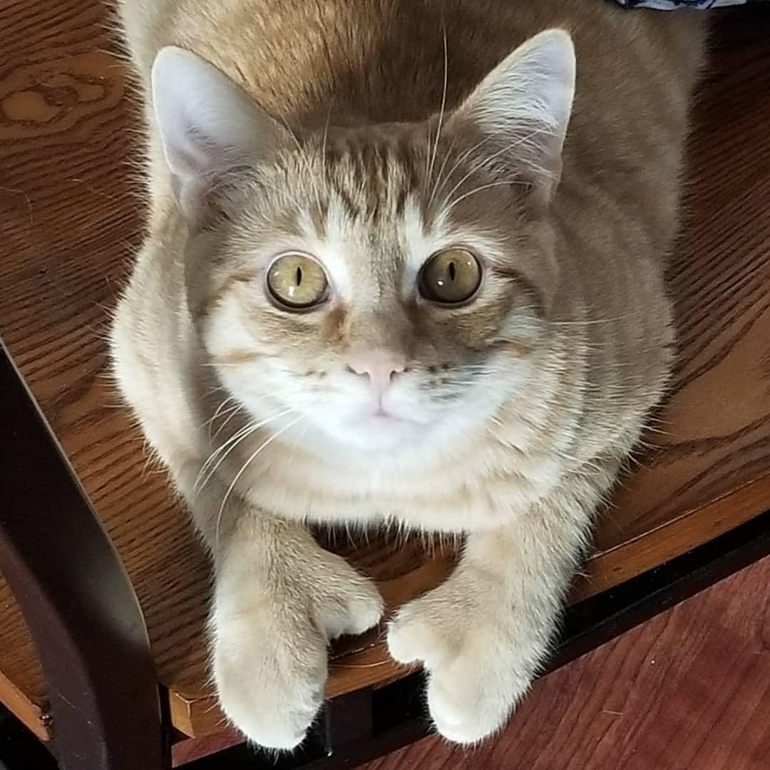 gato con polidactilia 11