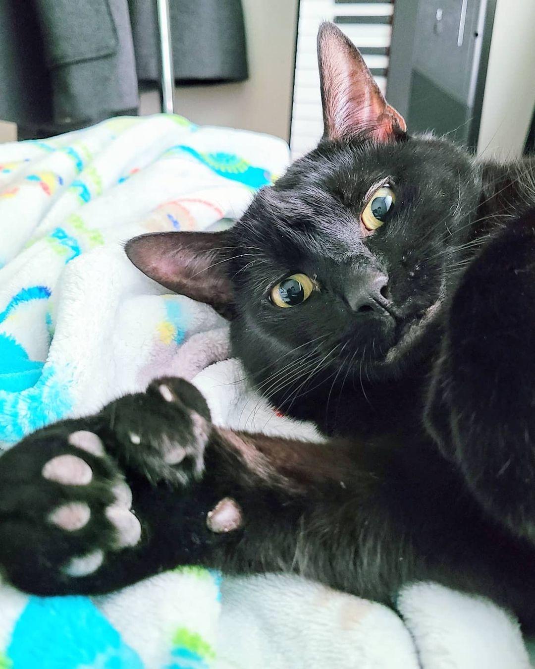 gato con polidactilia 12