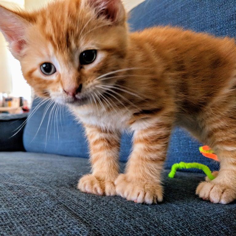 gato con polidactilia 15