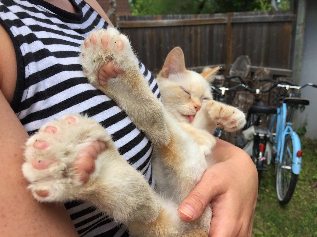 gato con polidactilia 17