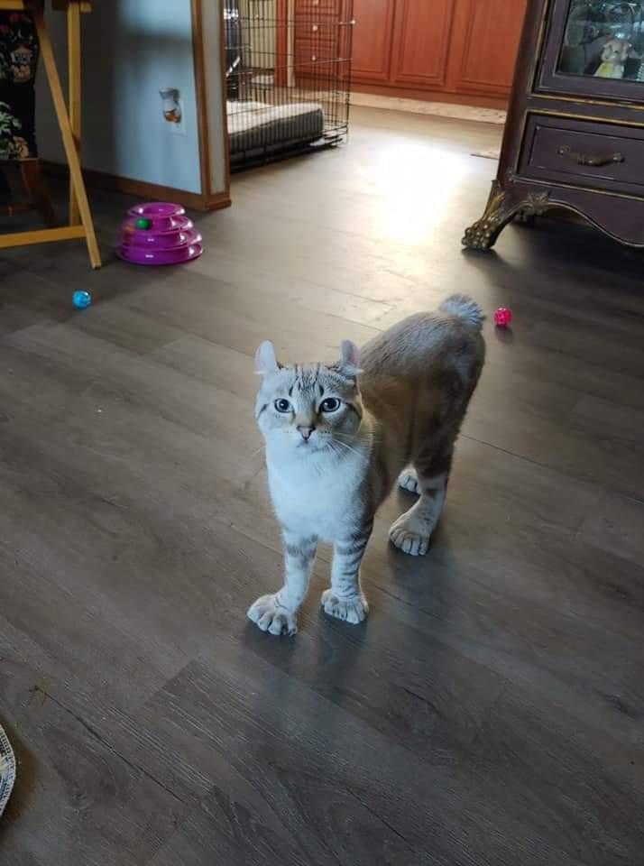 gato con polidactilia 2